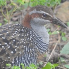 Hypotaenidia philippensis (Buff-banded Rail) at Berry, NSW - 6 Jul 2020 by Andrejs