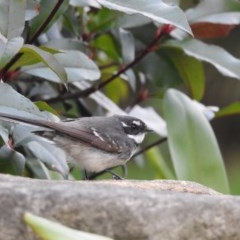 Rhipidura albiscapa (Grey Fantail) at Berry, NSW - 7 Jul 2020 by Andrejs