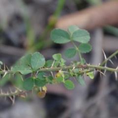 Rosa rubiginosa (Sweet Briar, Eglantine) at Wamboin, NSW - 19 May 2020 by natureguy