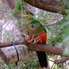 Alisterus scapularis (Australian King-Parrot) at Florey, ACT - 8 Jul 2020 by Kurt