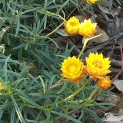 Xerochrysum viscosum (Sticky everlasting) at Stirling Park - 8 Jul 2020 by JaneR