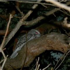 Podargus strigoides (Tawny Frogmouth) at Hughes Grassy Woodland - 8 Jul 2020 by Ct1000