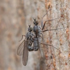 Diptera (order) (Unidentified fly) at ANBG - 7 Jul 2020 by TimL