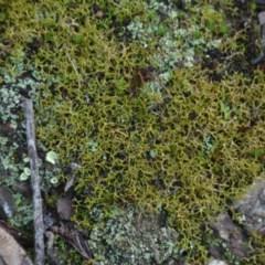 Cladia aggregata (A lichen) at Wamboin, NSW - 19 May 2020 by natureguy