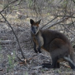 Wallabia bicolor (Swamp Wallaby) at Wamboin, NSW - 19 May 2020 by natureguy