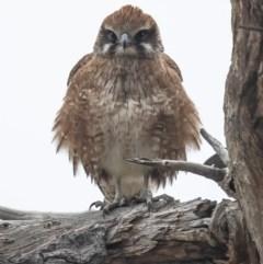 Falco berigora (Brown Falcon) at Jerrabomberra Wetlands - 8 Jul 2020 by Roger