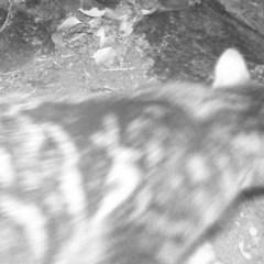 Felis catus (Feral Cat) at Gordon, ACT - 29 Jun 2020 by ChrisHolder