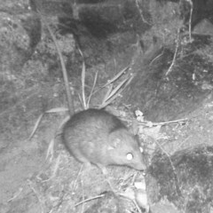 Rattus rattus (Black Rat) at Gordon, ACT - 30 Jun 2020 by ChrisHolder