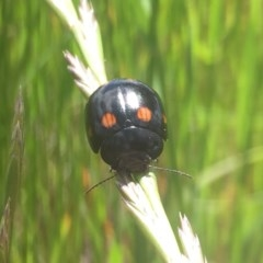 Orcus australasiae (Orange-spotted Ladybird) at - 27 Oct 2016 by Alburyconservationcompany