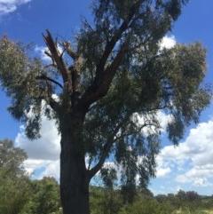 Eucalyptus macrorhyncha (A Red Stringybark) at Albury - 27 Oct 2016 by Alburyconservationcompany