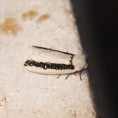 Oenosandra boisduvalii (Boisduval's Autumn Moth) at Greenleigh, NSW - 12 Apr 2020 by LyndalT