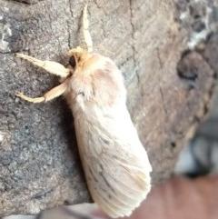 Oxycanus sp. (genus) (Unidentified Oxycanus moth) at Greenleigh, NSW - 25 Jun 2020 by LyndalT
