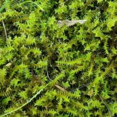 Triquetrella (A trailing moss) at Molonglo Gorge - 10 Jul 2020 by tpreston