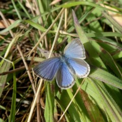 Zizina otis (Common Grass-blue) at Wandiyali-Environa Conservation Area - 10 Jul 2020 by Wandiyali