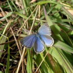 Zizina otis (Common Grass-blue) at Wandiyali-Environa Conservation Area - 10 Jul 2020 by Wandiyali