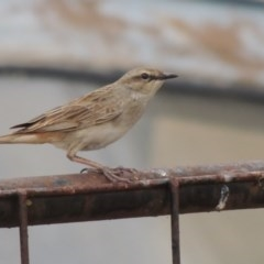 Cincloramphus mathewsi (Rufous Songlark) at Table Top, NSW - 28 Nov 2013 by Alburyconservationcompany