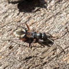 Daerlac cephalotes (Ant Mimicking Seedbug) at Lake Ginninderra - 3 Jul 2020 by AlisonMilton