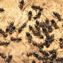Crematogaster sp. (genus) (Acrobat ant, Cocktail ant) at Lake Ginninderra - 3 Jul 2020 by AlisonMilton