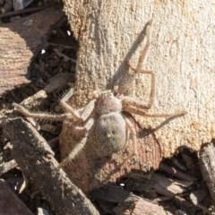 Sparassidae sp. (family) (TBC) at Lake Ginninderra - 3 Jul 2020 by AlisonMilton