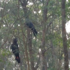 Calyptorhynchus lathami (Glossy Black-cockatoo) at Bermagui State Forest - 31 May 2020 by annabowman