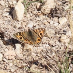 Junonia villida (Meadow Argus) at Gigerline Nature Reserve - 7 Jul 2020 by RodDeb