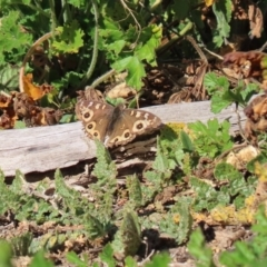 Junonia villida at Gigerline Nature Reserve - 7 Jul 2020