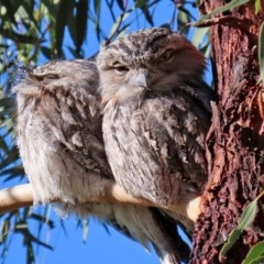 Podargus strigoides (Tawny Frogmouth) at Gigerline Nature Reserve - 7 Jul 2020 by RodDeb