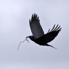 Corvus coronoides (Australian Raven) at Fyshwick, ACT - 8 Jul 2020 by RodDeb