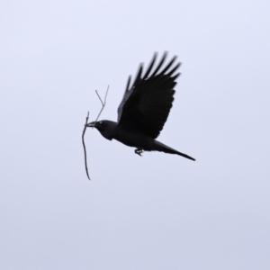 Corvus coronoides at Jerrabomberra Wetlands - 8 Jul 2020