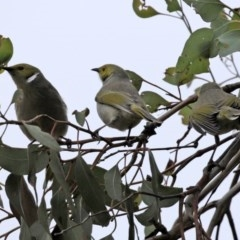 Ptilotula penicillata (White-plumed Honeyeater) at Jerrabomberra Wetlands - 8 Jul 2020 by RodDeb