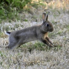 Oryctolagus cuniculus (European Rabbit) at Jerrabomberra Wetlands - 9 Jul 2020 by RodDeb