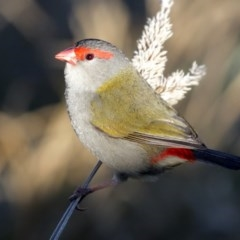 Neochmia temporalis (Red-browed Finch) at Jerrabomberra Wetlands - 9 Jul 2020 by RodDeb