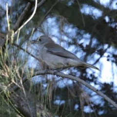 Colluricincla harmonica (Grey Shrikethrush) at Jerrabomberra Wetlands - 9 Jul 2020 by RodDeb