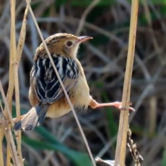 Cisticola exilis (Golden-headed Cisticola) at Jerrabomberra Wetlands - 9 Jul 2020 by RodDeb