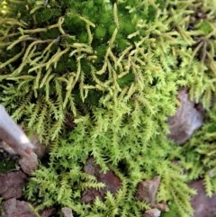 Triquetrella (A trailing moss) at Mount Painter - 10 Jul 2020 by CathB