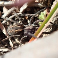 Lycosidae sp. (family) (Unidentified wolf spider) at Mount Painter - 10 Jul 2020 by CathB