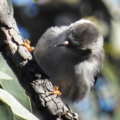 Daphoenositta chrysoptera (Varied Sittella) at ANBG - 11 Jul 2020 by HelenCross