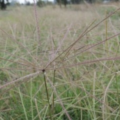 Chloris truncata (Windmill Grass) at Coombs Ponds - 2 Mar 2020 by michaelb