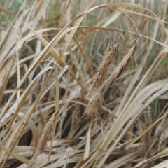 Carex fascicularis (Tassel Sedge) at Coombs Ponds - 2 Mar 2020 by michaelb