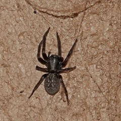Badumna insignis (Black house spider) at Brogo, NSW - 7 Jul 2020 by MaxCampbell
