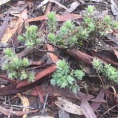 Pultenaea subspicata (Low Bush-pea) at Mount Majura - 11 Jul 2020 by WalterEgo