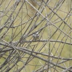 Taeniopygia bichenovii (Double-barred Finch) at Jerrabomberra, NSW - 12 Jul 2020 by YumiCallaway