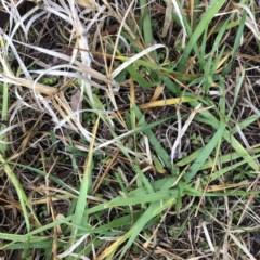 Festuca arundinacea (TBC) at Hughes Garran Woodland - 12 Jul 2020 by ruthkerruish