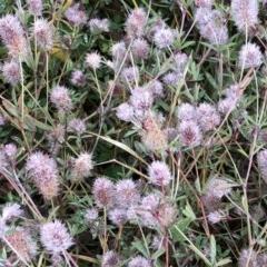 Trifolium arvense var. arvense (Haresfoot Clover) at Hughes Garran Woodland - 12 Jul 2020 by ruthkerruish
