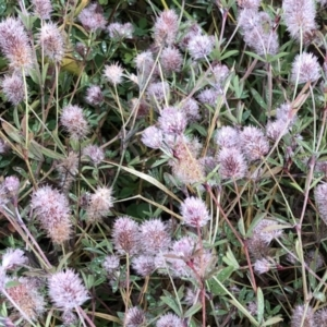 Trifolium arvense var. arvense at Hughes Garran Woodland - 12 Jul 2020