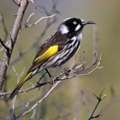Phylidonyris novaehollandiae (New Holland Honeyeater) at Jerrabomberra Wetlands - 18 Jul 2019 by RodDeb