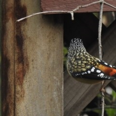 Pardalotus punctatus (Spotted Pardalote) at Aranda, ACT - 12 Jul 2020 by KMcCue