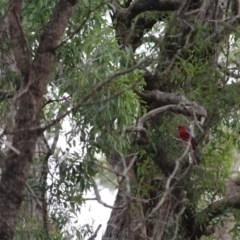 Platycercus elegans (Crimson Rosella) at Wolumla, NSW - 10 Jul 2020 by RossMannell
