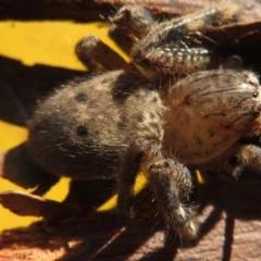 Neosparassus sp. (genus) (Unidentified Badge huntsman) at Narrabundah, ACT - 18 Jun 2020 by RobParnell