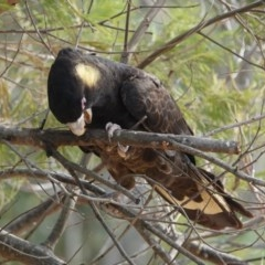 Calyptorhynchus funereus (Yellow-tailed Black-cockatoo) at Black Range, NSW - 10 Jul 2020 by AndrewMcCutcheon